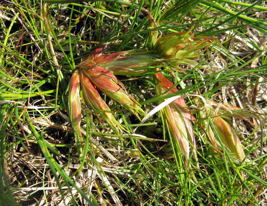 Sivbladloppe (Livia juncorum)