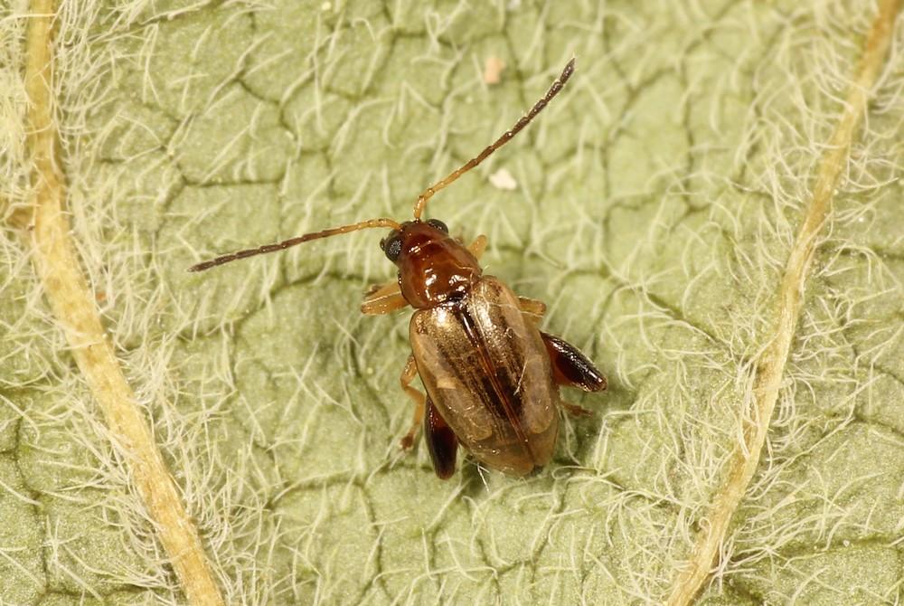 Longitarsus exoletus