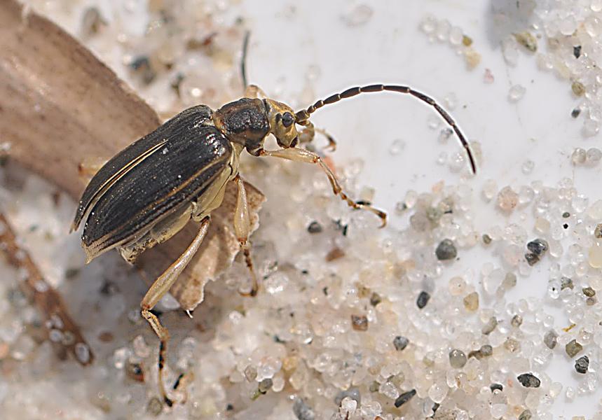 Macroplea mutica (Macroplea mutica)