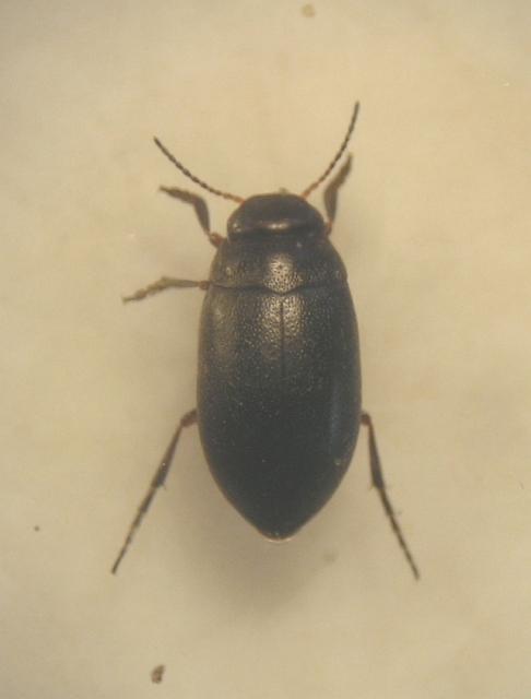 Hydroporus morio (Hydroporus morio)
