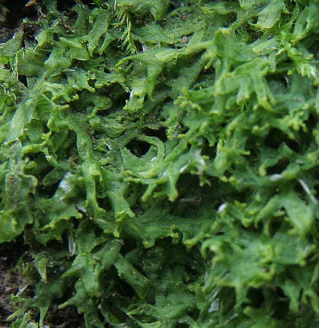Foto/billede af Blågrøn Gaffelløv (Metzgeria fruticulosa)