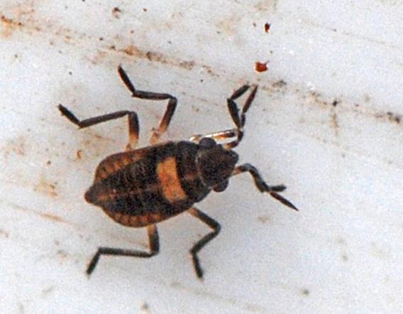 Microvelia sp.