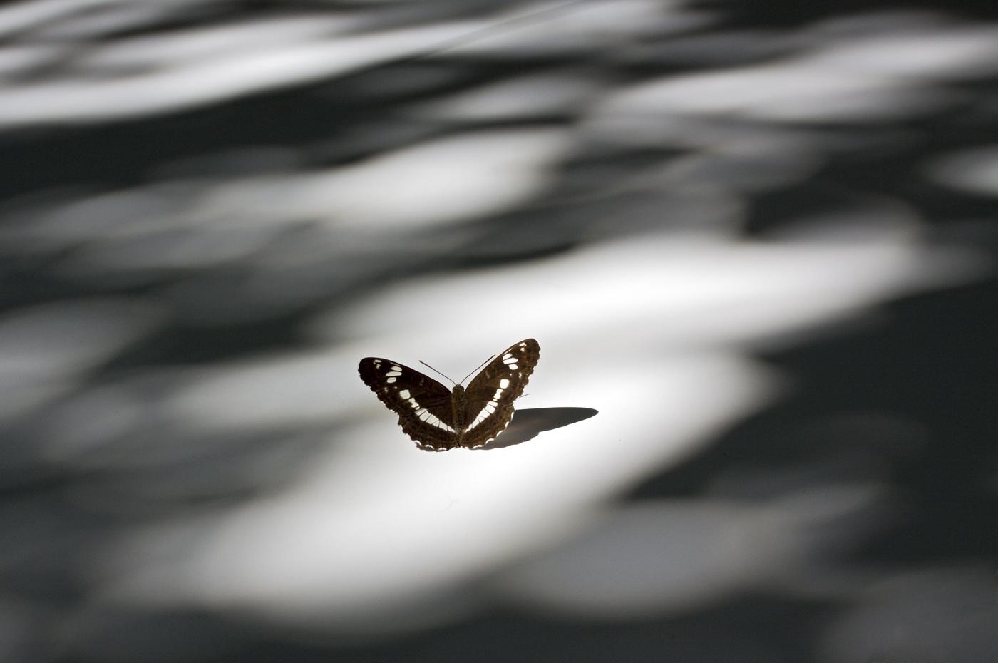 Foto/billede af Hvid Admiral (Limenitis camilla)