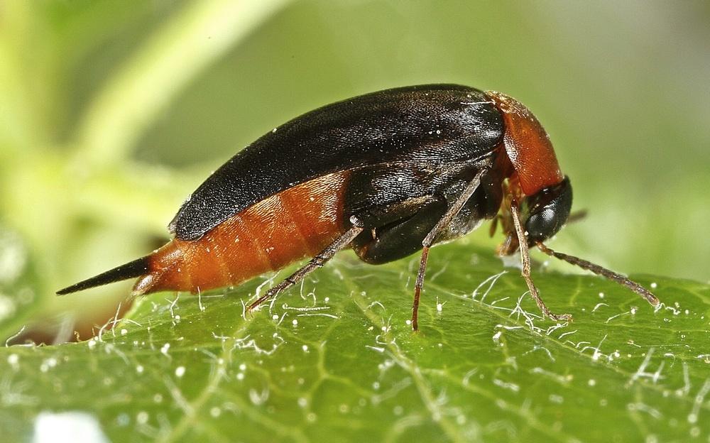 Mordellochroa abdominalis (Mordellochroa abdominalis)