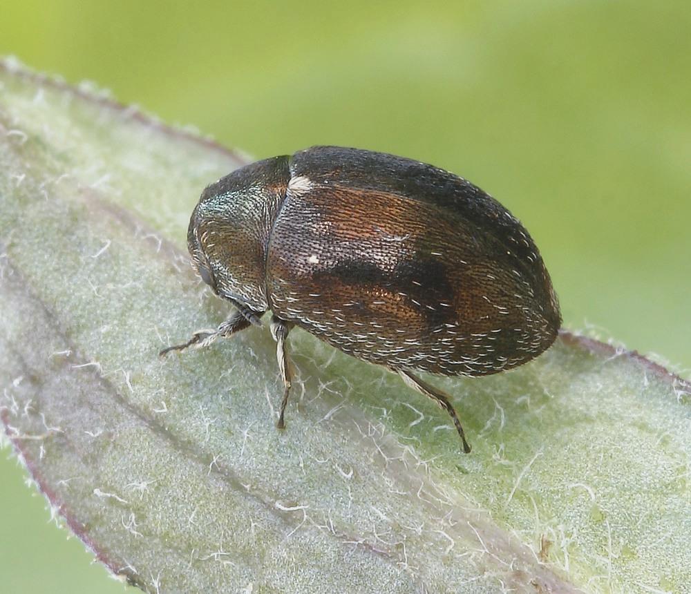 Morychus aeneus (Morychus aeneus)