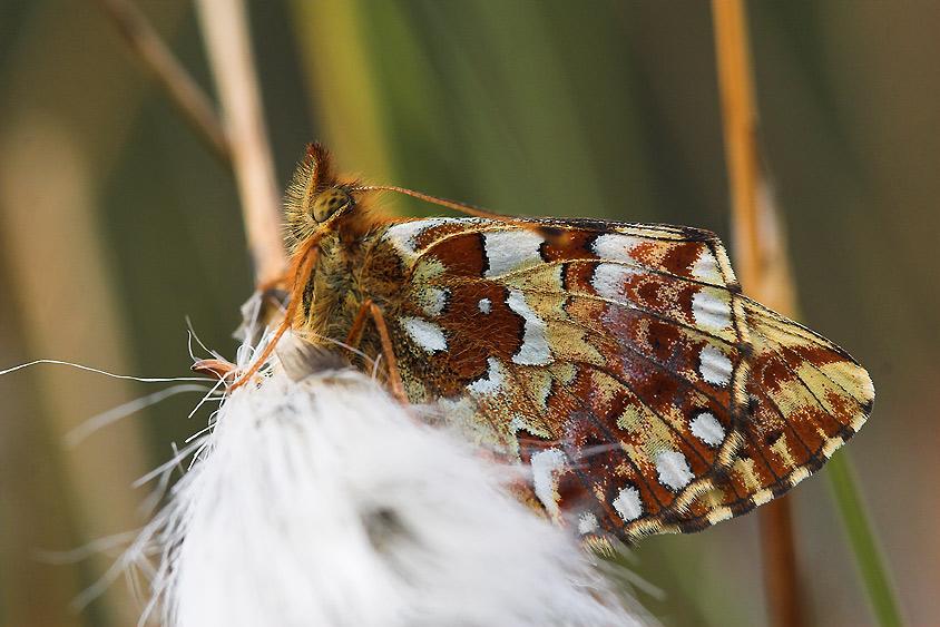 Moseperlemorsommerfugl (Boloria aquilonaris)