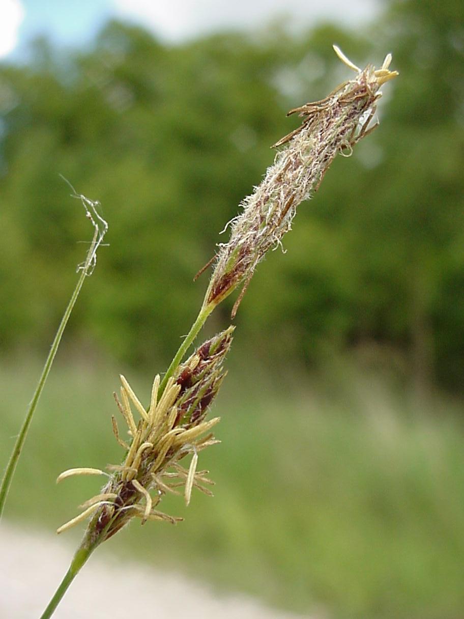 Foto/billede af Håret Star (Carex hirta)