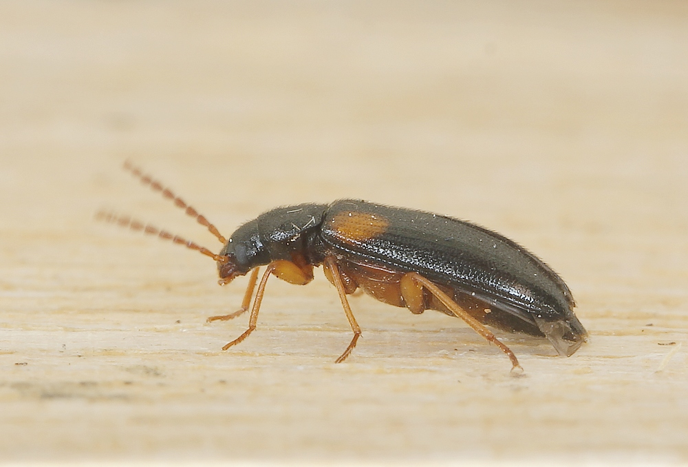 Mycetochara flavipes