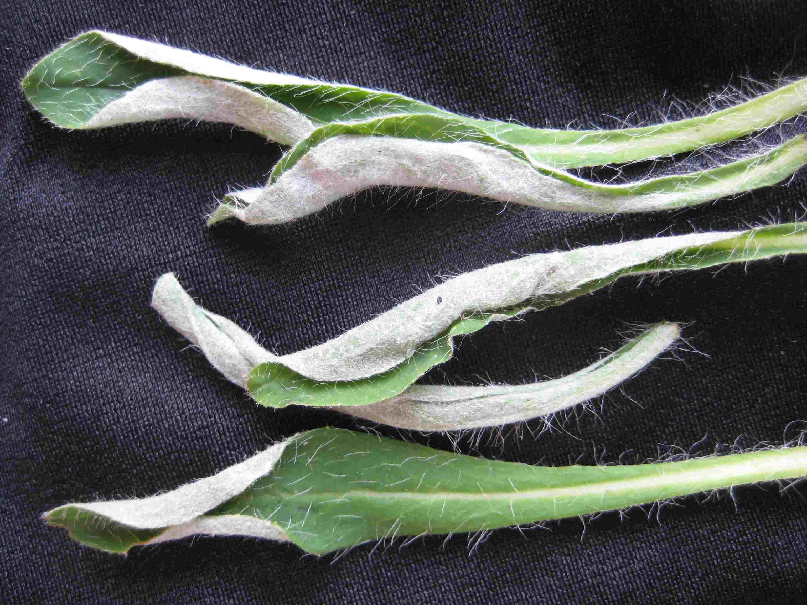 Nasonovia pilosellae