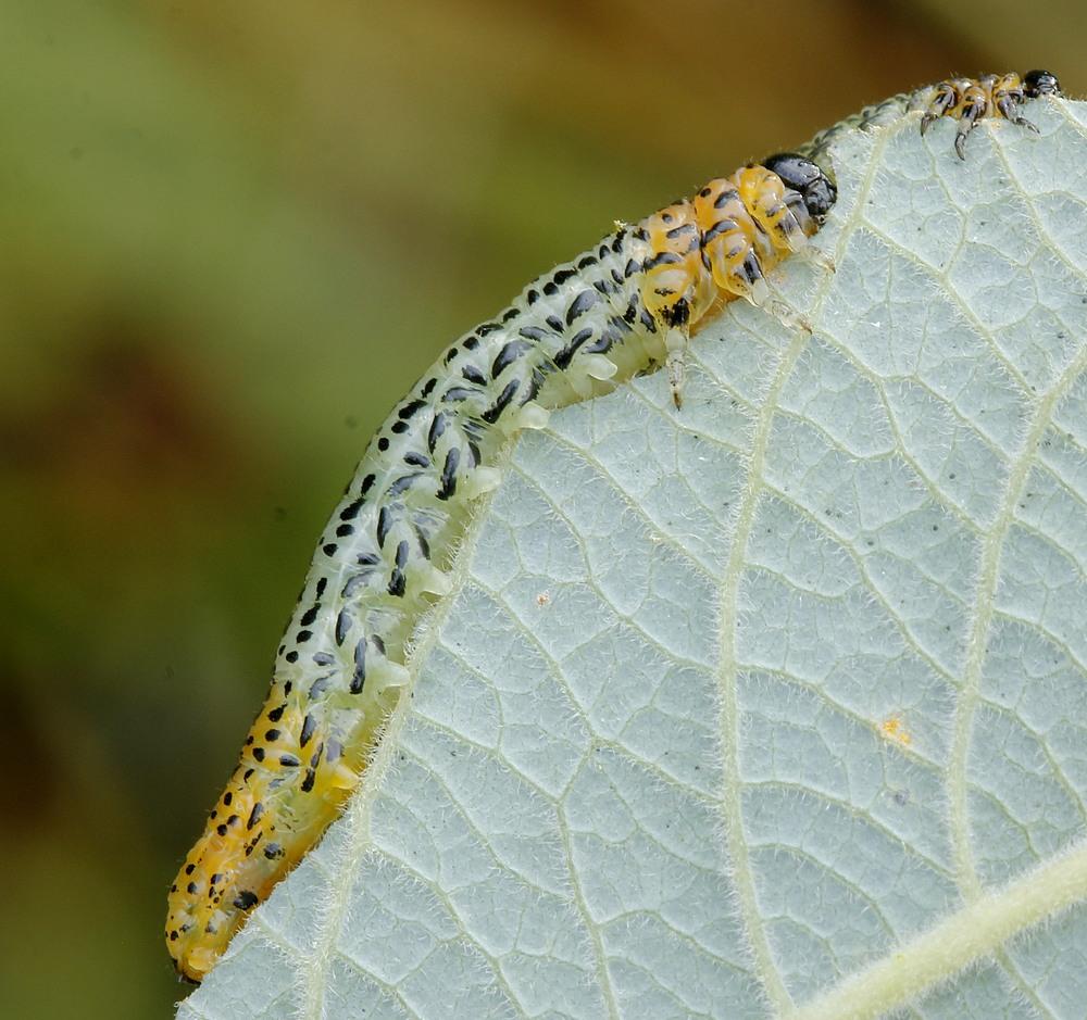 Nematus miliaris (Nematus miliaris)