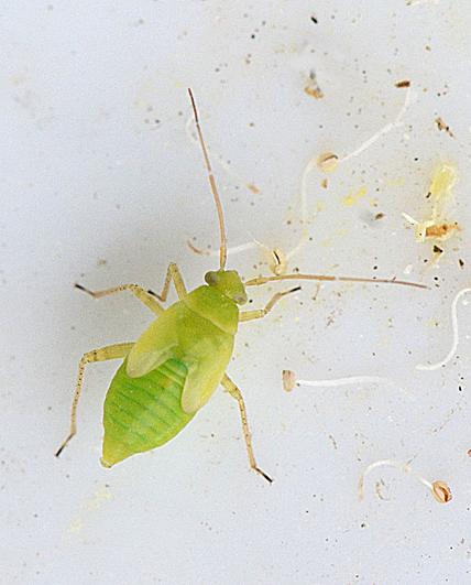 Foto/billede af Neolygus sp. (Neolygus sp.)