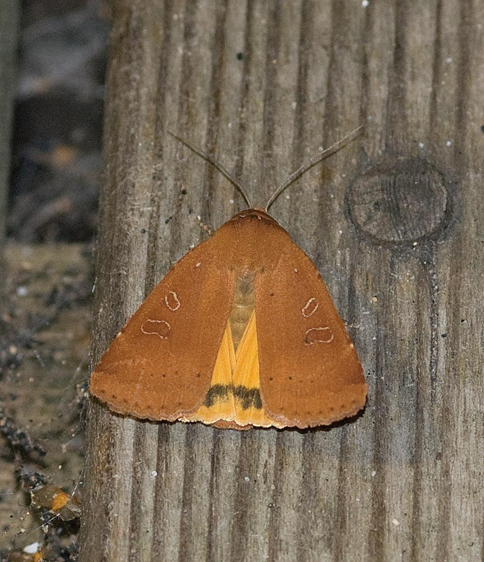 Foto/billede af Svagtskygget Smutugle (Noctua comes)