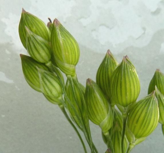Foto/billede af Almindelig Hirse (Panicum miliaceum)