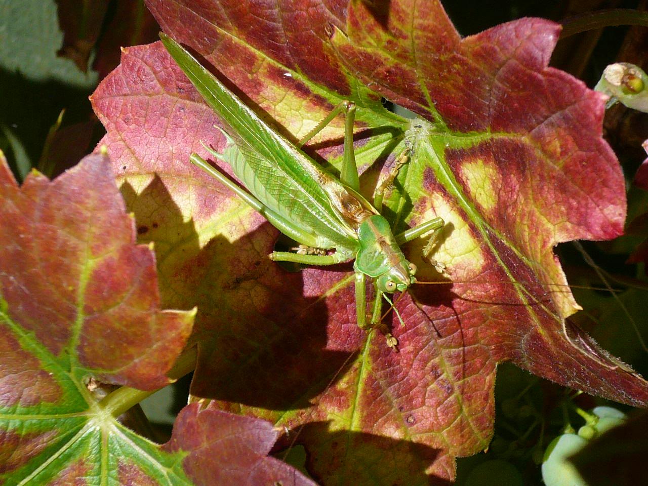 Foto/billede af Stor gr�n l�vgr�shoppe (Tettigonia viridissima)