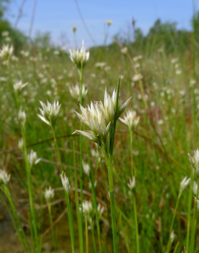 Foto/billede af Hvid Næbfrø (Rhynchospora alba)