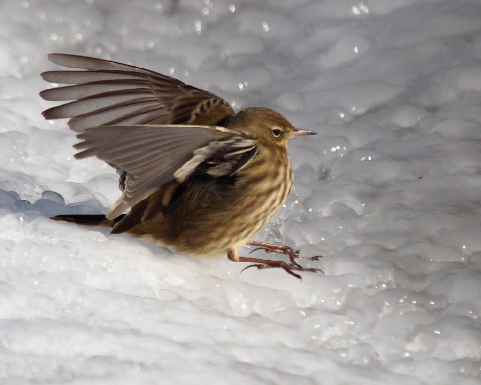 Foto/billede af Skærpiber (Anthus petrosus)