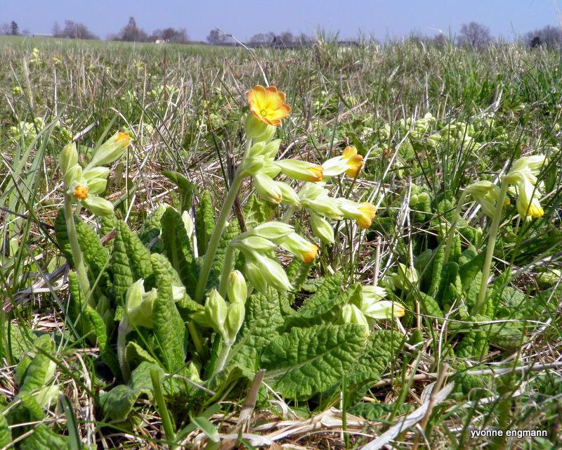 Foto/billede af Hulkravet kodriver (Primula veris)