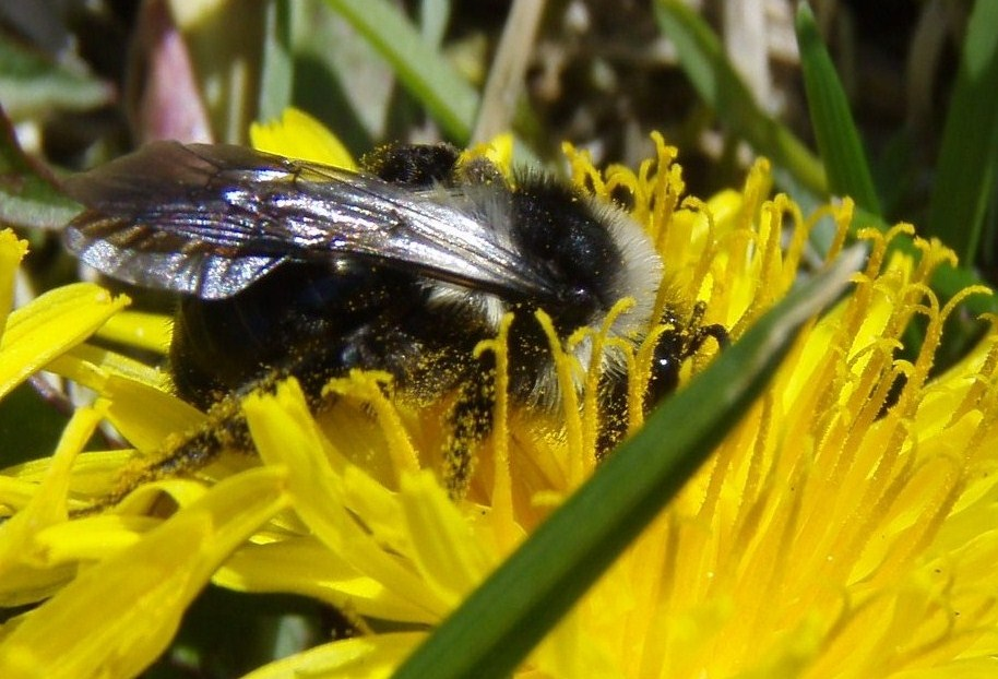 Foto/billede af Sorthvid Jordbi (Andrena cineraria)