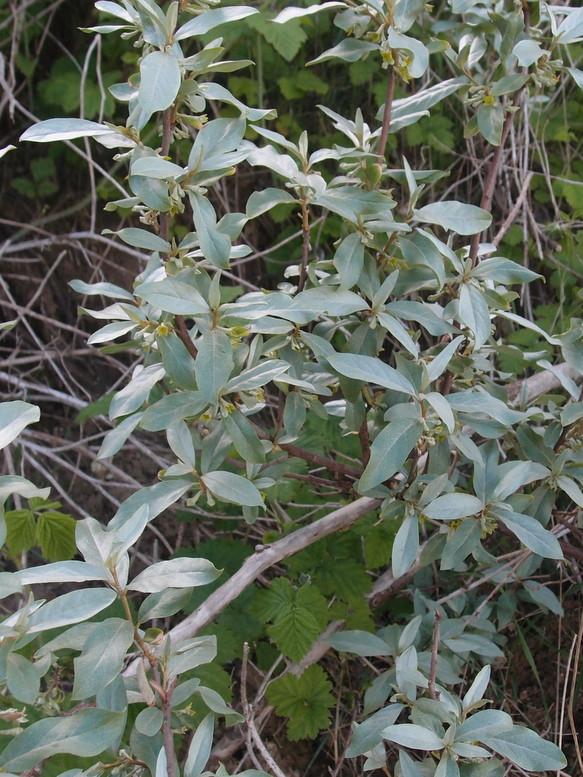 Almindelig Sølvblad (Elaeagnus commutata)
