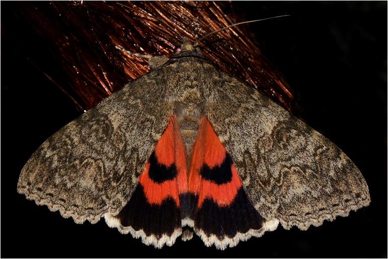 Foto/billede af Rødt ordensbånd (Catocala nupta)
