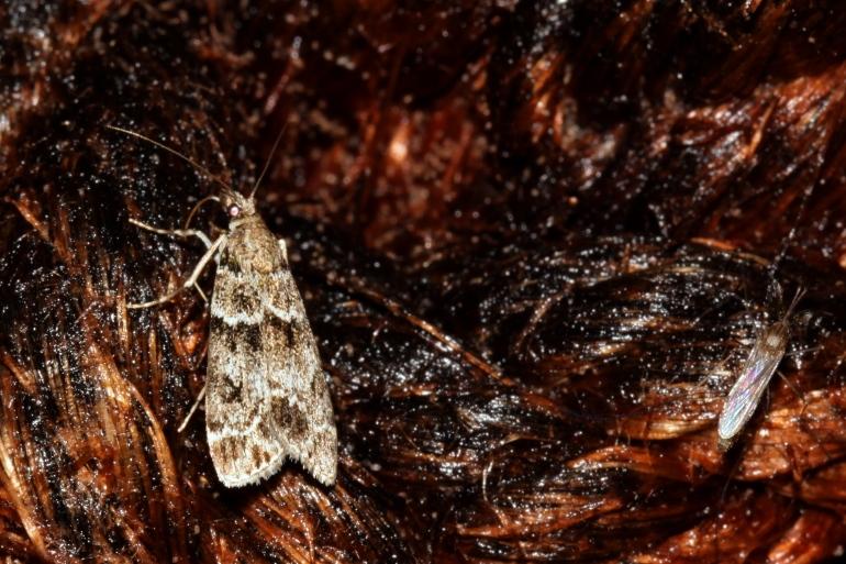 Foto/billede af Eudonia mercurella (Eudonia mercurella)