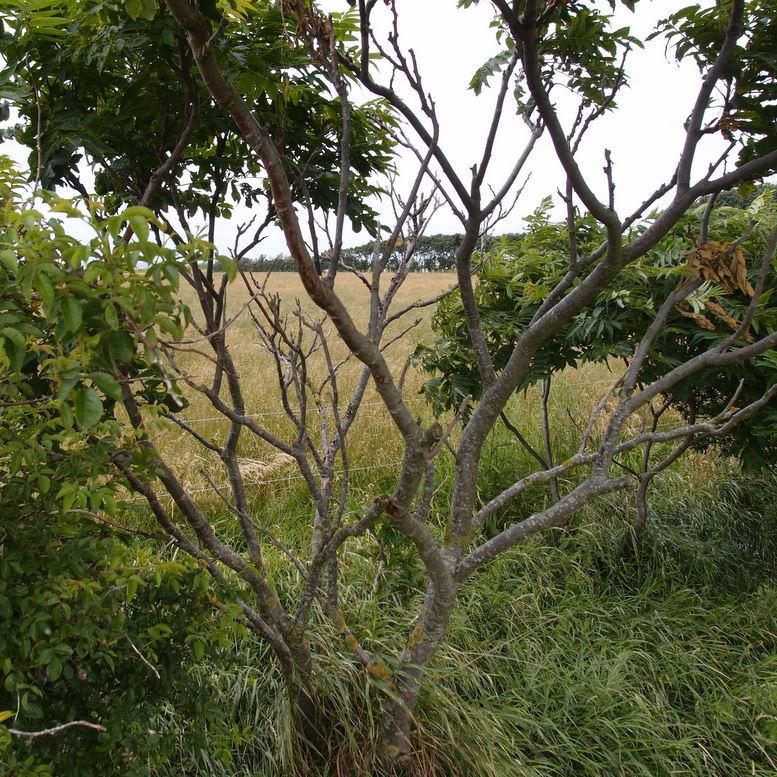 hjortetaktræ
