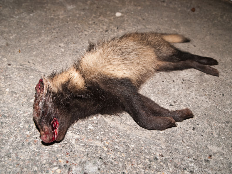 Foto/billede af Mårhund (Nyctereutes procyonoides)