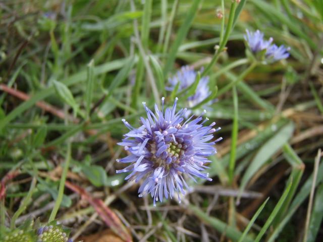Foto/billede af Blåmunke (Jasione montana)