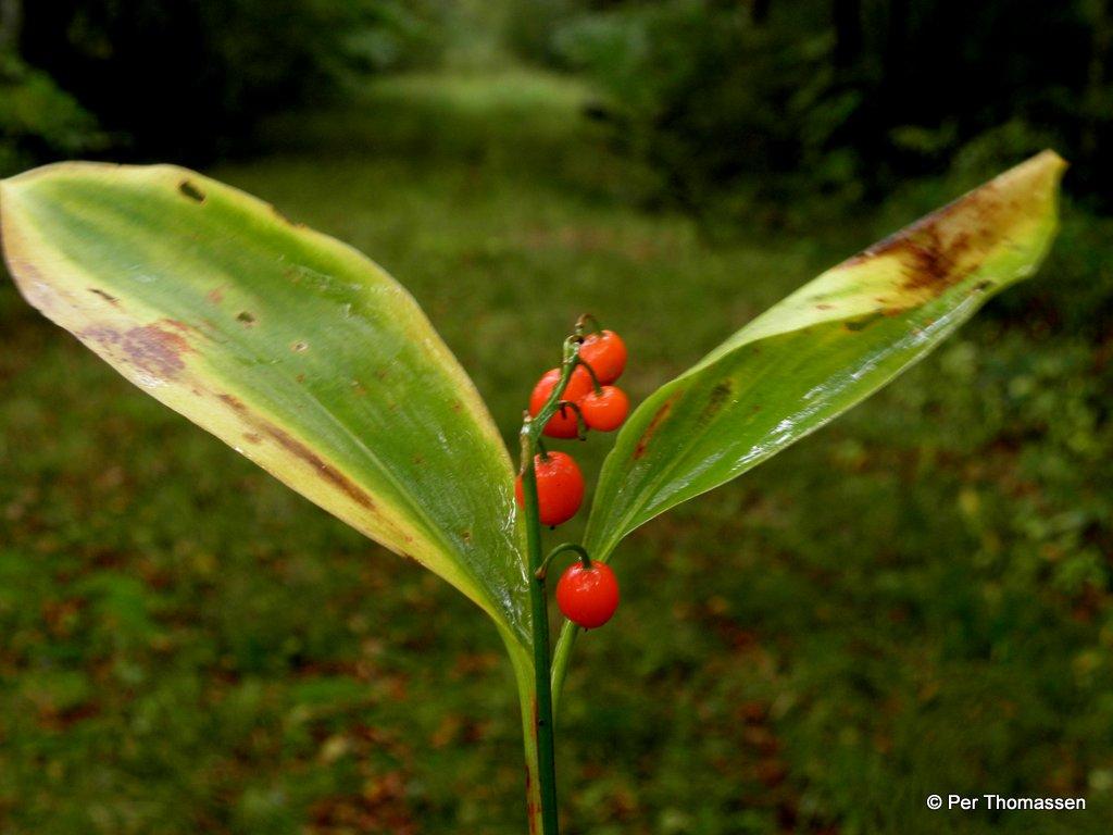 Foto/billede af Liljekonval (Convallaria majalis)