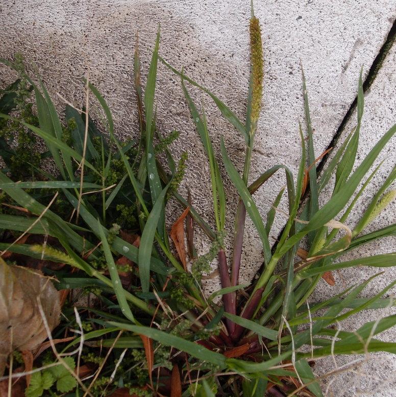 Knæbøjet Skærmaks (Setaria parviflora)