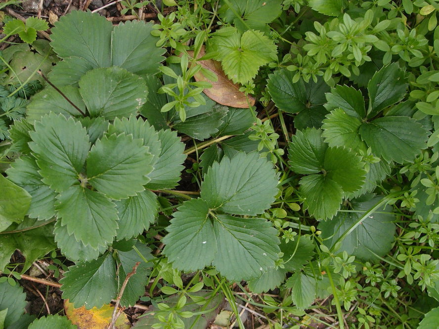 Foto/billede af Have-Jordbær (Fragaria x ananassa)