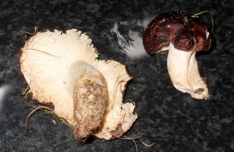 Foto/billede af Pile-Skørhat (Russula subrubens)