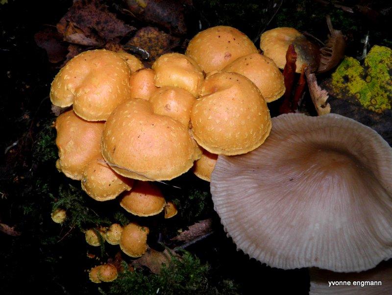 Foto/billede af Flamme-Skælhat (Pholiota flammans)