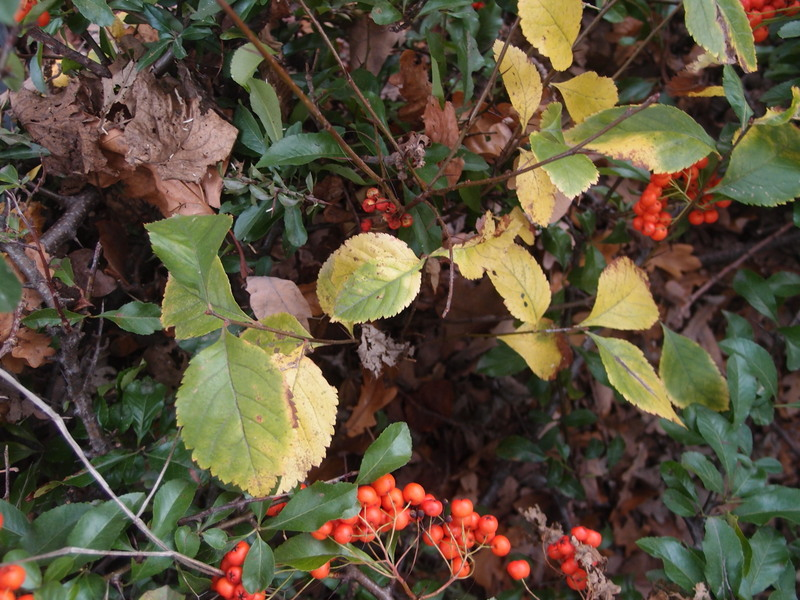 Crataegus x prunifolia