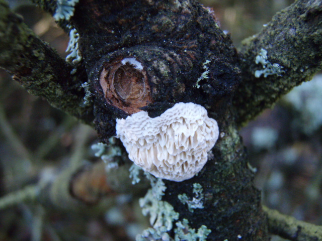 Foto/billede af Skive-Sejporesvamp (Antrodia ramentacea)