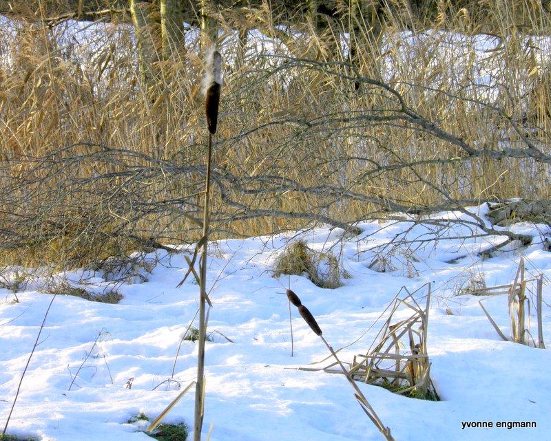 Foto/billede af Bredbladet Dunhammer (Typha latifolia)