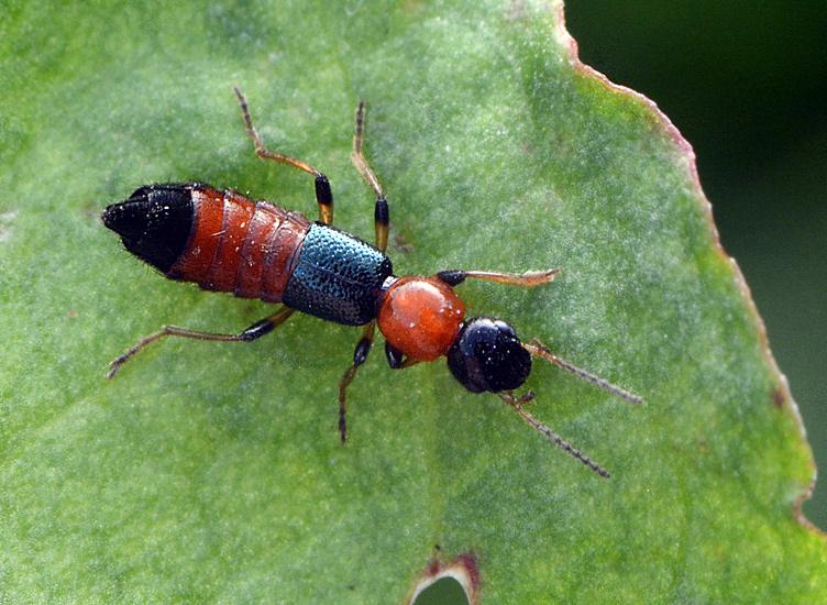 Foto/billede af Paederus littoralis (Paederus littoralis)