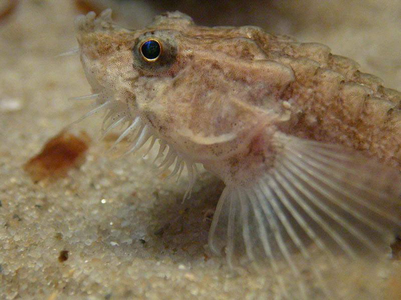 Foto/billede af Panserulk (Agonus cataphractus)
