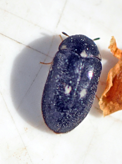 common carpet beetle. of Two-spot Carpet Beetle