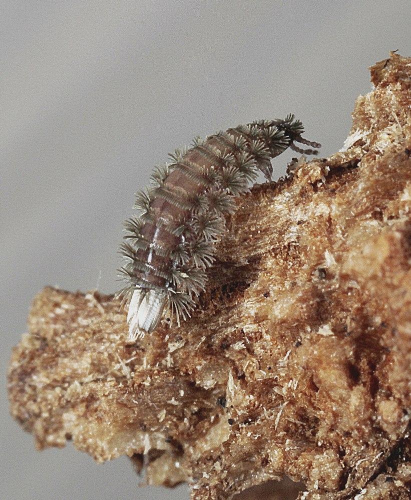 Penseltusindben (Polyxenus lagurus)