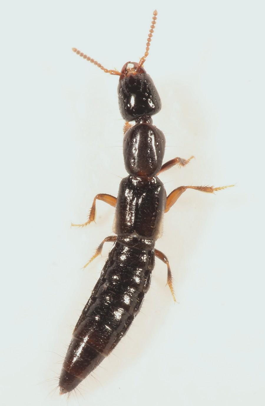 Phacophallus parumpunctatus