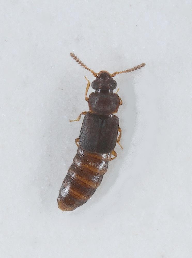 Phloeonomus pusillus (Phloeonomus pusillus)