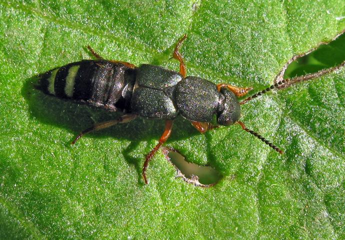 Foto/billede af Platydracus fulvipes (Platydracus fulvipes)