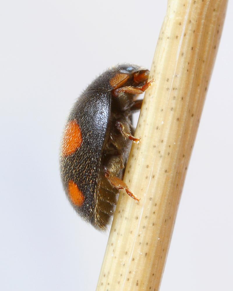 Håret Mariehøne (Platynaspis luteorubra)