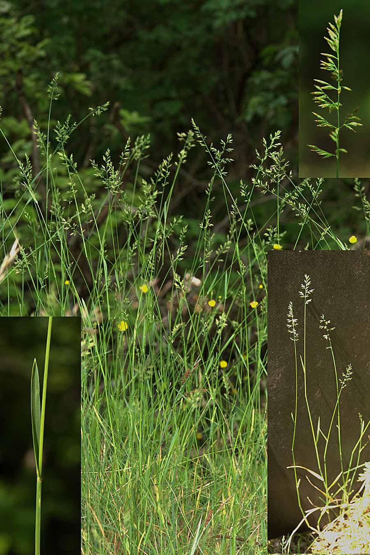 Fladstrået Rapgræs (Poa compressa)