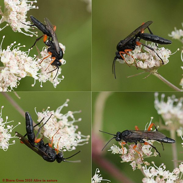 Pseudoamblyteles homocerus