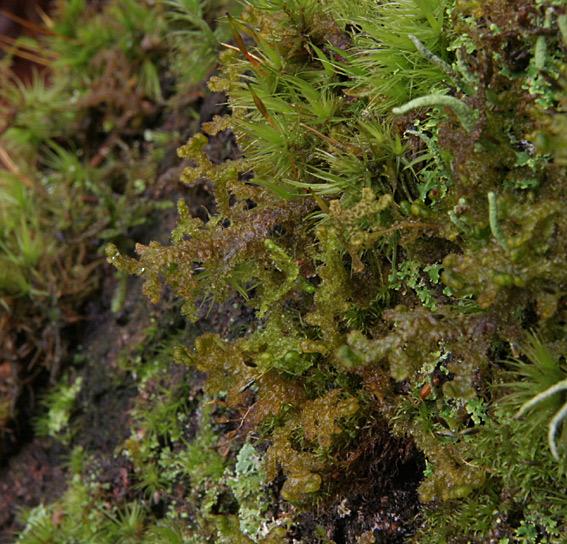 Stub-Frynsemos (Ptilidium pulcherrimum)