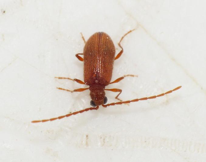Ptinus dubius