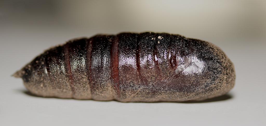 Foto/billede af Aftenp�fugle�je (Smerinthus ocellata)