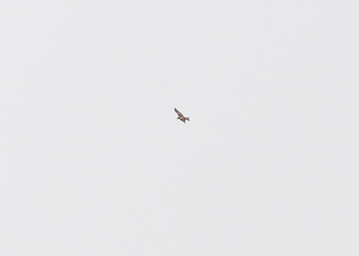 Rød Glente (Milvus milvus)